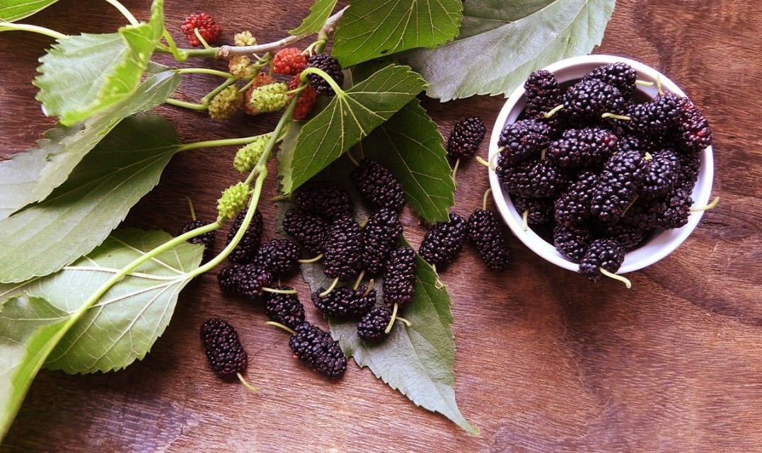 Mulberry Tree Leaves Benefits For Diabetes